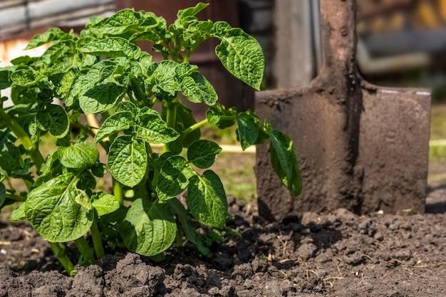 Zielone ziemniaki busha i łopata w ogrodzie w słoneczny dzień.
