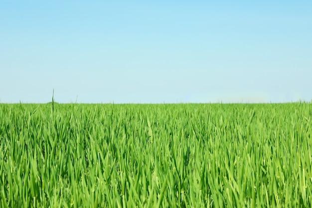 Zielonej trawy pole, przestrzeń dla teksta. piękna wiosenna zieleń