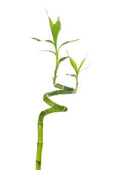 Zielony bambus na białym tle