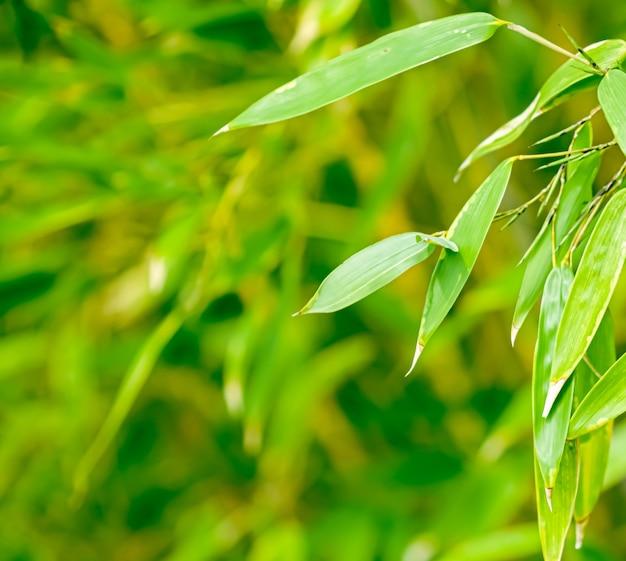 Zielony bambus tło świeże liście na drzewie jako koncepcja ekologii przyrody i środowiska environment