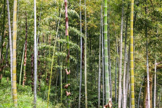 Zielony bambusowy gaj w ogrodzie botanicznym batumi, gruzja