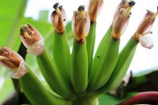 Zielony banan banana