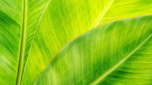 Zielony bananowy liść dla tła.