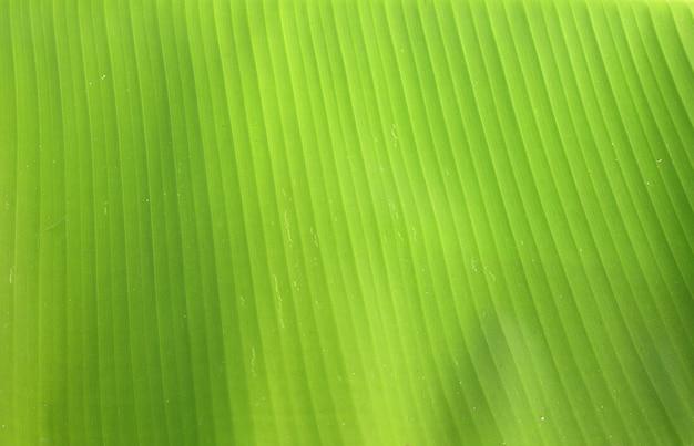 Zielony bananowy liść tekstury tło