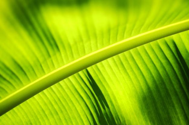 Zielony bananowy liścia backlight z światłem słonecznym w ogródzie