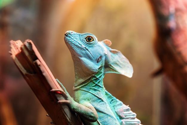 Zielony bazyliszek, czyli jaszczurka jezusa chrystusa w terrarium zoo