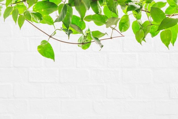 Zielony bluszcz na białej ścianie
