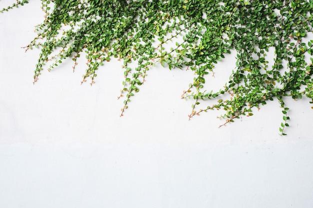 Zielony bluszcz na białym ściennym tle.
