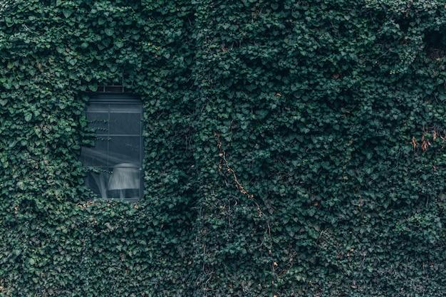 Zielony bluszcz na ścianie i oknie