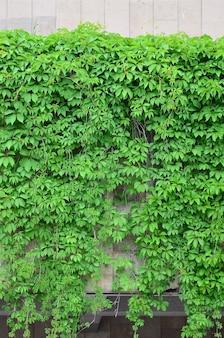 Zielony bluszcz rośnie wzdłuż beżowej ściany pomalowanych kafli