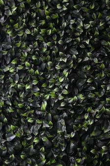 Zielony bluszcz rośnie wzdłuż ściany. tekstura gęste zarośla dzikiego winorośli