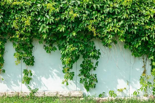 Zielony bluszcz wiesza na ścianie ogrodzenie.
