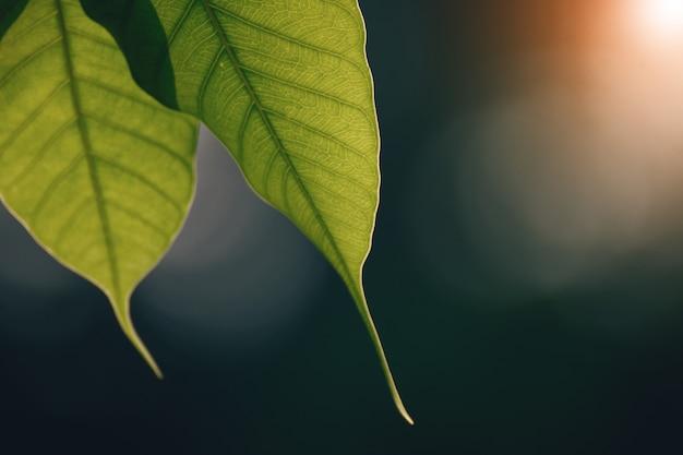 Zielony bo liść z światłem słonecznym rano