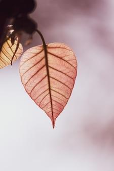Zielony bo liść z światłem słonecznym w ranku, bo drzewo reprezentuje buddyzm w thailand.