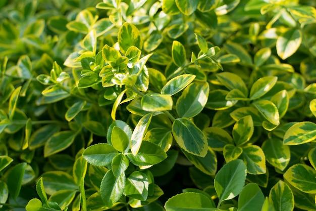 Zielony bujny liść, naturalny wzór rośliny lub tekstura