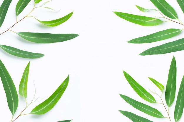 Zielony eukaliptus rozgałęzia się na białym tle