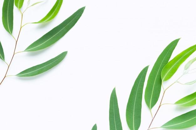 Zielony eukaliptus rozgałęzia się na bielu