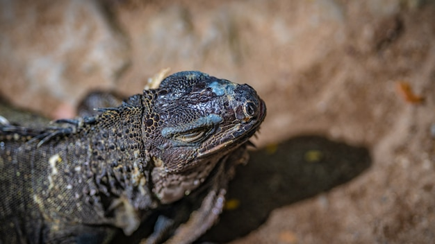 Zielony gadów iguana