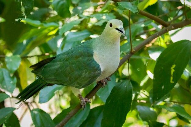 Zielony gołąb cesarski z natury