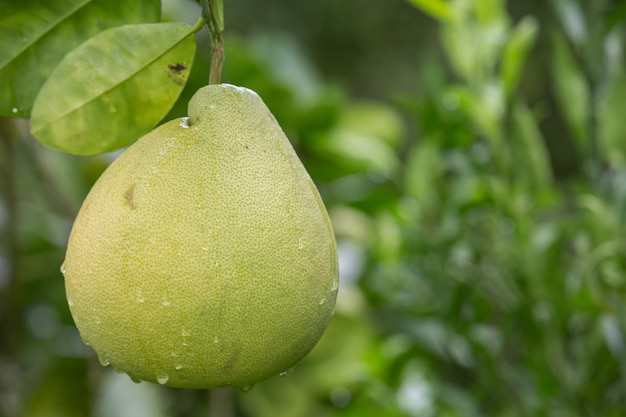 Zielony grejpfrut jest umieszczony na gałęziach i ma naturalne rozmycie z tyłu.
