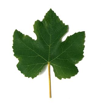 Zielony i młody liść winogron na białej powierzchni