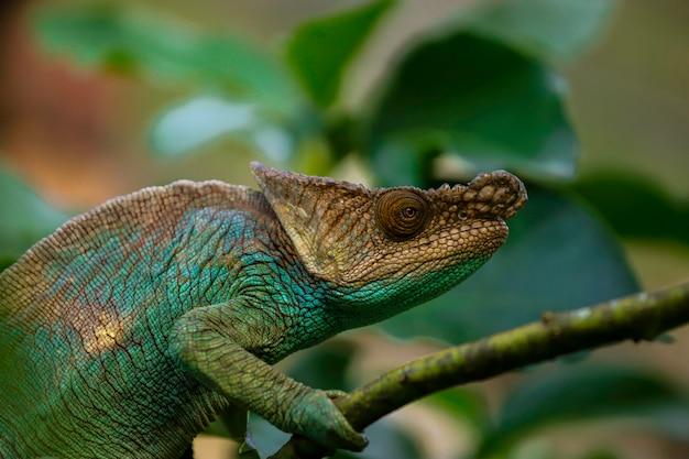 Zielony i niebieski kameleon madagaskaru wśród gałęzi