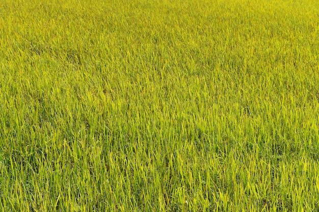 Zielony i żółty ryż w polu na tle