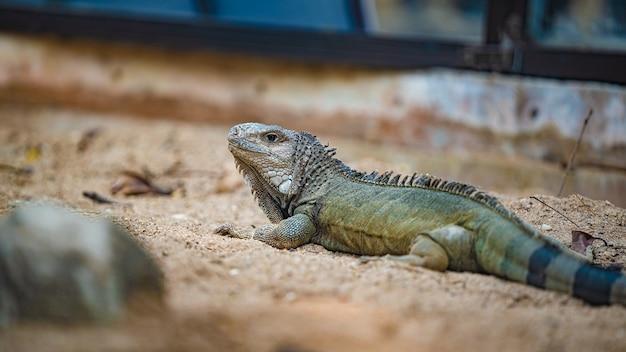 Zielony iguana gad zwierzę