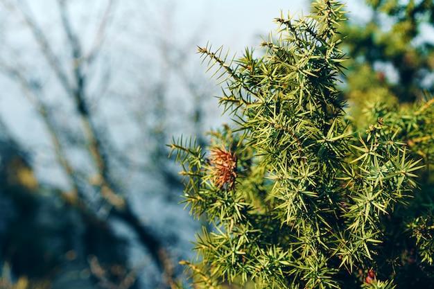 Zielony jałowcowy krzak rozgałęzia się w świetle słonecznym, tło