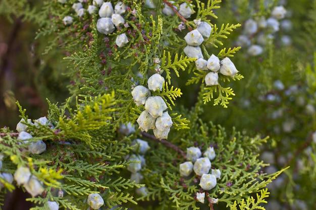 Zielony jałowcowy krzak w pogodnym ogródzie
