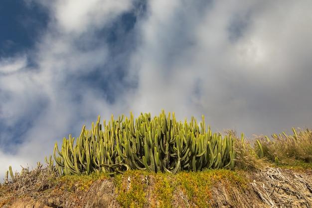 Zielony kaktus i niebieskie niebo z białymi chmurami. puerto rico gran canaria, wyspy kanaryjskie, hiszpania