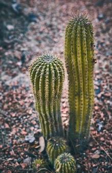 Zielony kaktus na tle czerwonych skał w naturze