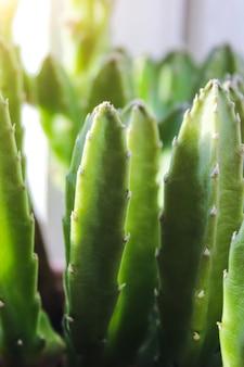 Zielony kaktus, soczysty na parapecie na jasnym miękkim tle. rośliny domowe na parapecie