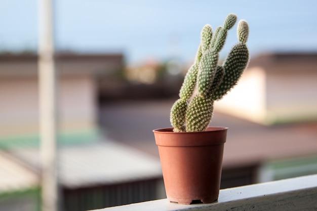 Zielony kaktusowy drzewo w małym brown garnku stawia dalej tarasowego plenerowego w światło słoneczne dniu z plama domu tłem