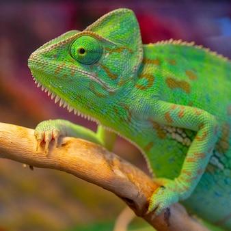Zielony kameleon. duży portret.