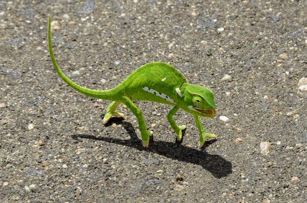 Zielony kameleon na asfaltowej drodze