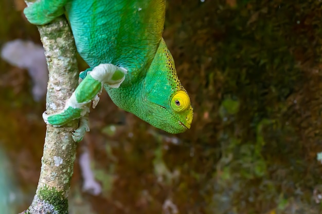 Zielony kameleon na gałęzi drzewa