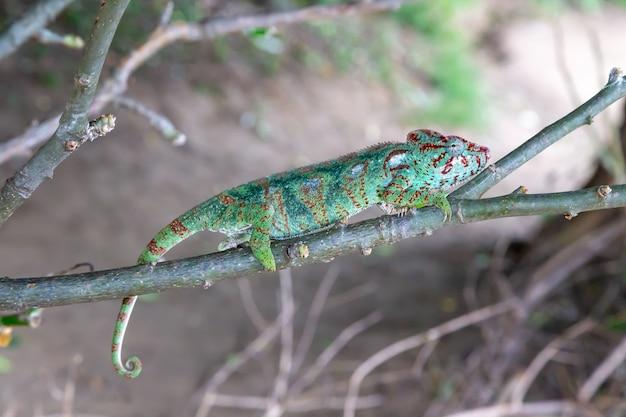 Zielony kameleon na gałęzi w przyrodzie