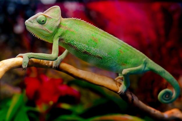 Zielony kameleon na gałęzi.