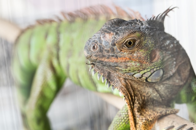 Zielony kameleon w klatce