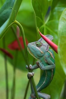 Zielony kameleon w roślinach, kameleon zasłonięty z bliska