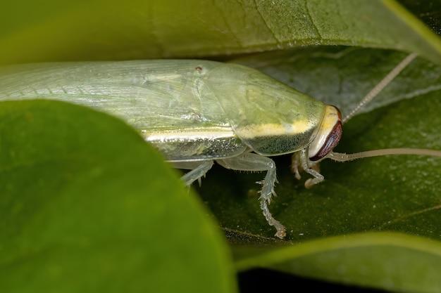 Zielony karaluch olbrzymi z rodzaju panchlora