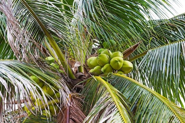 Zielony kokos w palmie