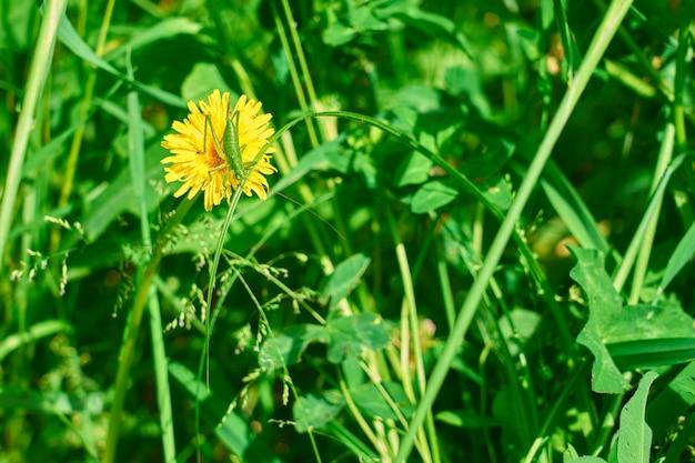Zielony konik polny na żółtym mniszku w zielonej trawie.