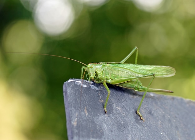 Zielony konik polny. omocestus viridulus