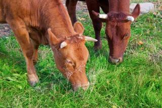 Zielony krowy