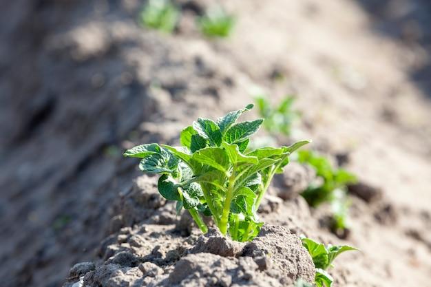 Zielony krzak ziemniaków na bruździe. zdjęcie z bliska wiosny w ciągu dnia. pole rolnicze