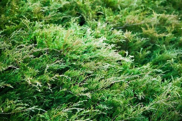 Zielony krzew jałowca. z gałązkami jałowca