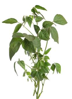 Zielony krzew soi na białym tle