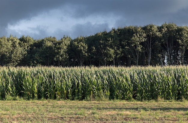 Zielony kukurydzany pola dorośnięcie z drzewami przy tylnym i burzowym niebem. krajobraz rolniczy
